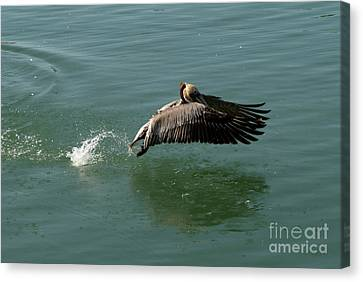 Taking Flight Canvas Print by Rod Wiens