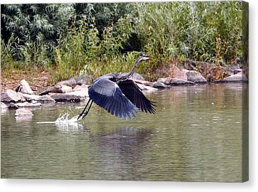 Taking Off  Canvas Print by James Steele