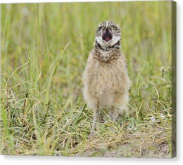 Talking Baby Burrowing Owl  Canvas Print by Keith Lovejoy