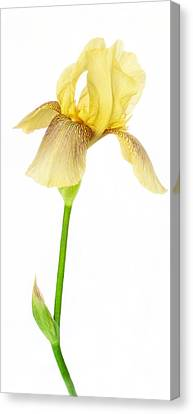 Tall And Graceful Yellow Iris Canvas Print