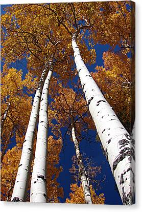 Tall Aspen Canvas Print