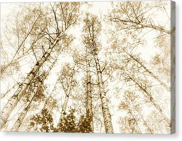 Canvas Print featuring the photograph Tall Aspens by Elena Elisseeva