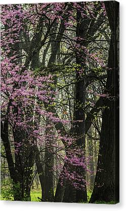 Tall Red Buds In Spring Canvas Print by Joni Eskridge
