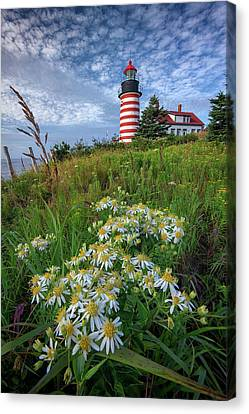 Tall White Asters At West Quoddy Head Canvas Print