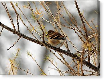 Tamarack Visitor Canvas Print by Debbie Oppermann