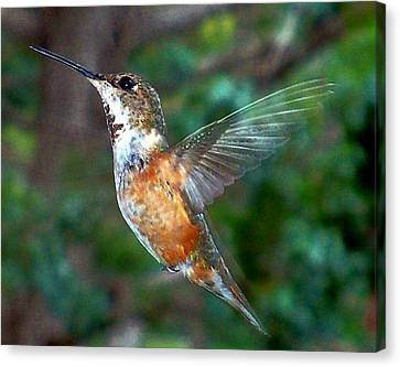 Tan Hummingbird Canvas Print by Joseph Frank Baraba