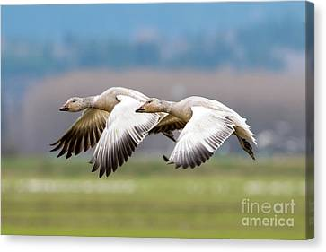 Canvas Print featuring the photograph Tandem Glide by Mike Dawson