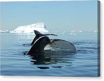 Tandem Humpback Whale Flukes Canvas Print