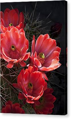 Canvas Print featuring the photograph Tangerine Cactus Flower by Phyllis Denton