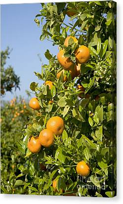 Tangerines Canvas Print - Tangerines On A Tree Branch by Inga Spence