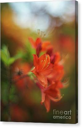 Tangering Azaleas Dream Canvas Print by Mike Reid