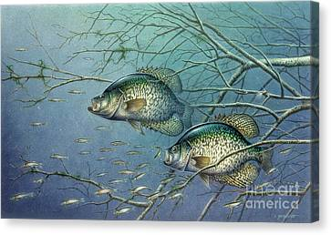 Tangled Cover Crappie II Canvas Print by Jon Q Wright