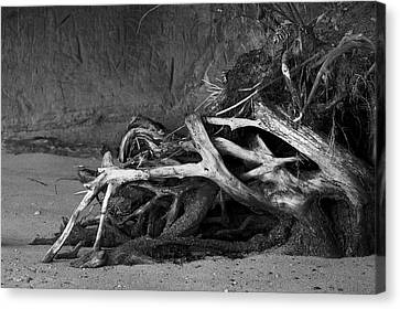 Canvas Print featuring the photograph Tangled Knots - Tree Roots by Jane Eleanor Nicholas