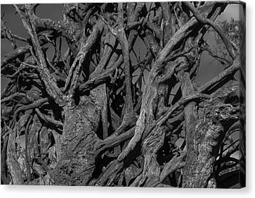 Tangled Tree Roots Canvas Print