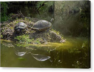 Tanning Turtles Canvas Print