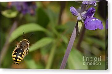 Target In Sight - Honey Bee  Canvas Print by Steven Milner