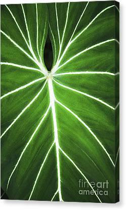 Taro Veins Canvas Print by Brandon Tabiolo - Printscapes