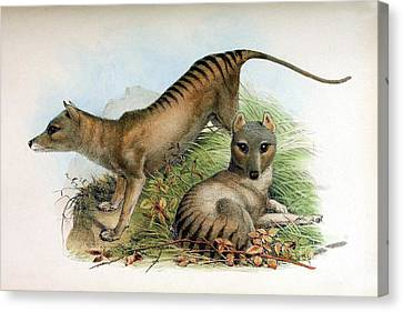 Tasmanian Tiger, Extinct Species Canvas Print
