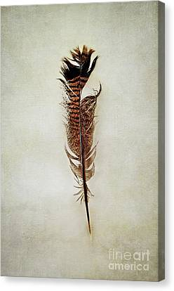 Canvas Print featuring the photograph Tattered Turkey Feather by Stephanie Frey