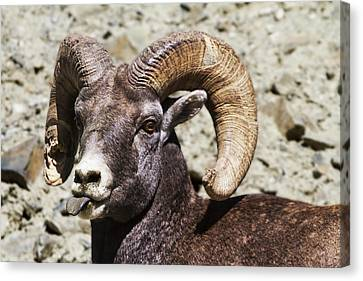 Taunting Bighorn Canvas Print by Mark Kiver