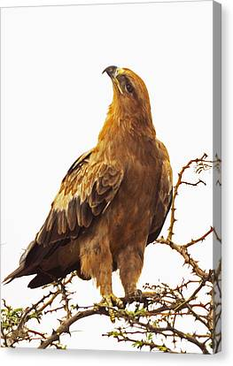 Tawny Eagle Canvas Print by Patrick Kain