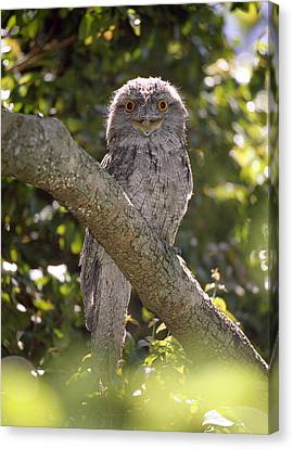 Tawny Frogmouth Canvas Print by Barry Culling