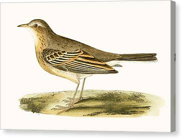 Tawny Pipit Canvas Print by English School
