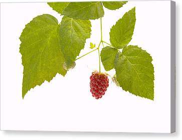 Food And Beverage Canvas Print - Tayberry by Andy Smy