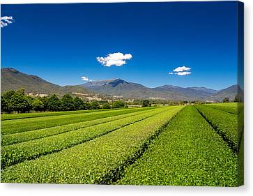 Tea In The Valley Canvas Print by Mark Lucey