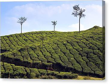 Tea Planation In Kerala - India Canvas Print by Joana Kruse