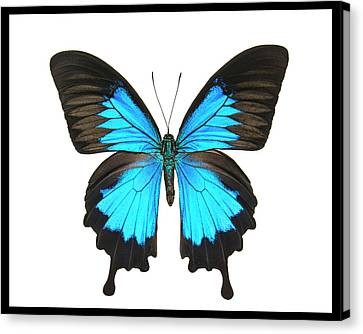Teal Butterfly Photo Canvas Print by Lisbet Sjoberg