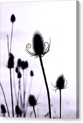 Teasels In A French Field  I Canvas Print by Gareth Davies