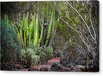 Phoenix Canvas Print - Teddy Bear Cactus by Jon Burch Photography