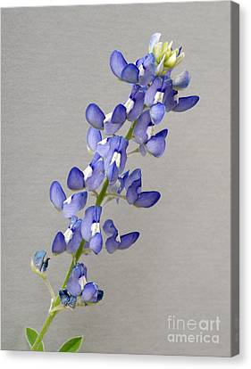 Tender Blue Canvas Print