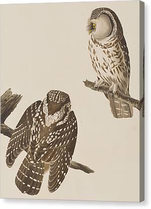Tengmalm's Owl Canvas Print