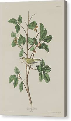 Tennessee Warbler Canvas Print