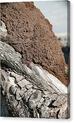 Termite Nest Canvas Print by Steve Madore