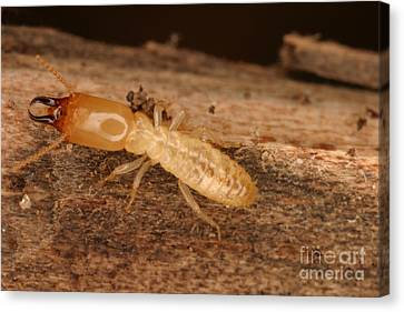 Termite Canvas Print by Ted Kinsman