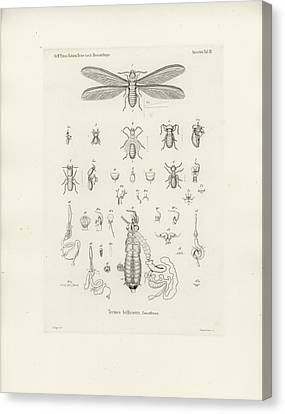 Termites, Macrotermes Bellicosus Canvas Print by H Hagen