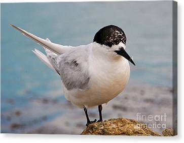 Canvas Print featuring the photograph Tern 1 by Werner Padarin