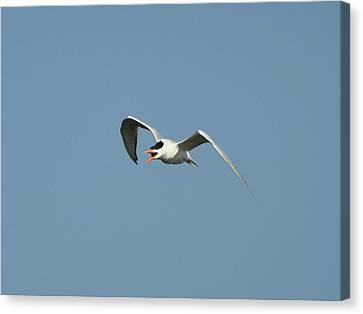 Tern Flight 02 Canvas Print by Al Powell Photography USA