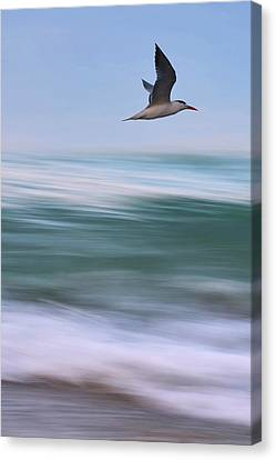 Canvas Print featuring the photograph Tern Flight Vert by Laura Fasulo