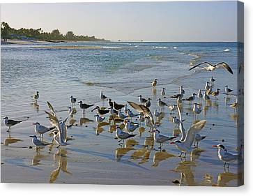Terns And Seagulls On The Beach In Naples, Fl Canvas Print