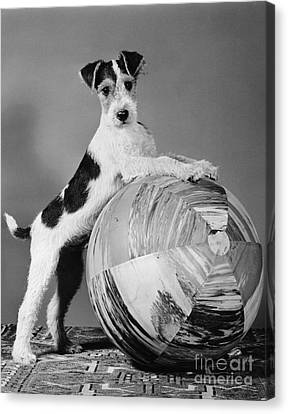 Terrier In Playful Pose, C.1940s Canvas Print by H. Armstrong Roberts/ClassicStock