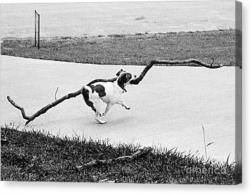 Terrier Running With A Very Big Stick Canvas Print