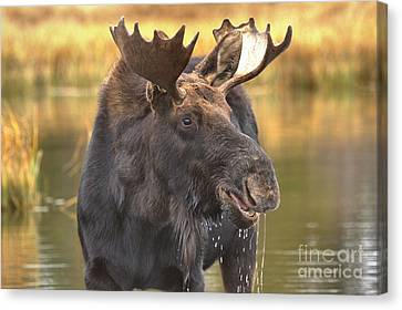 Dripping Moose Closeup Canvas Print by Adam Jewell