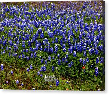 Texas Bluebonnets #0484 Canvas Print