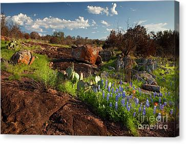 Texas Blue Bonnets And Cactus Canvas Print by Keith Kapple