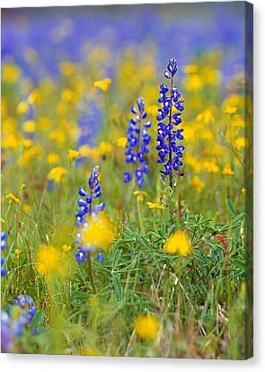 Texas Bluebonnet Flowers In Bloom Among Canvas Print