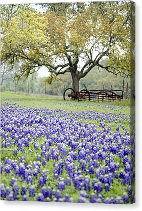 Texas Bluebonnets And Rust Canvas Print by Debbie Karnes